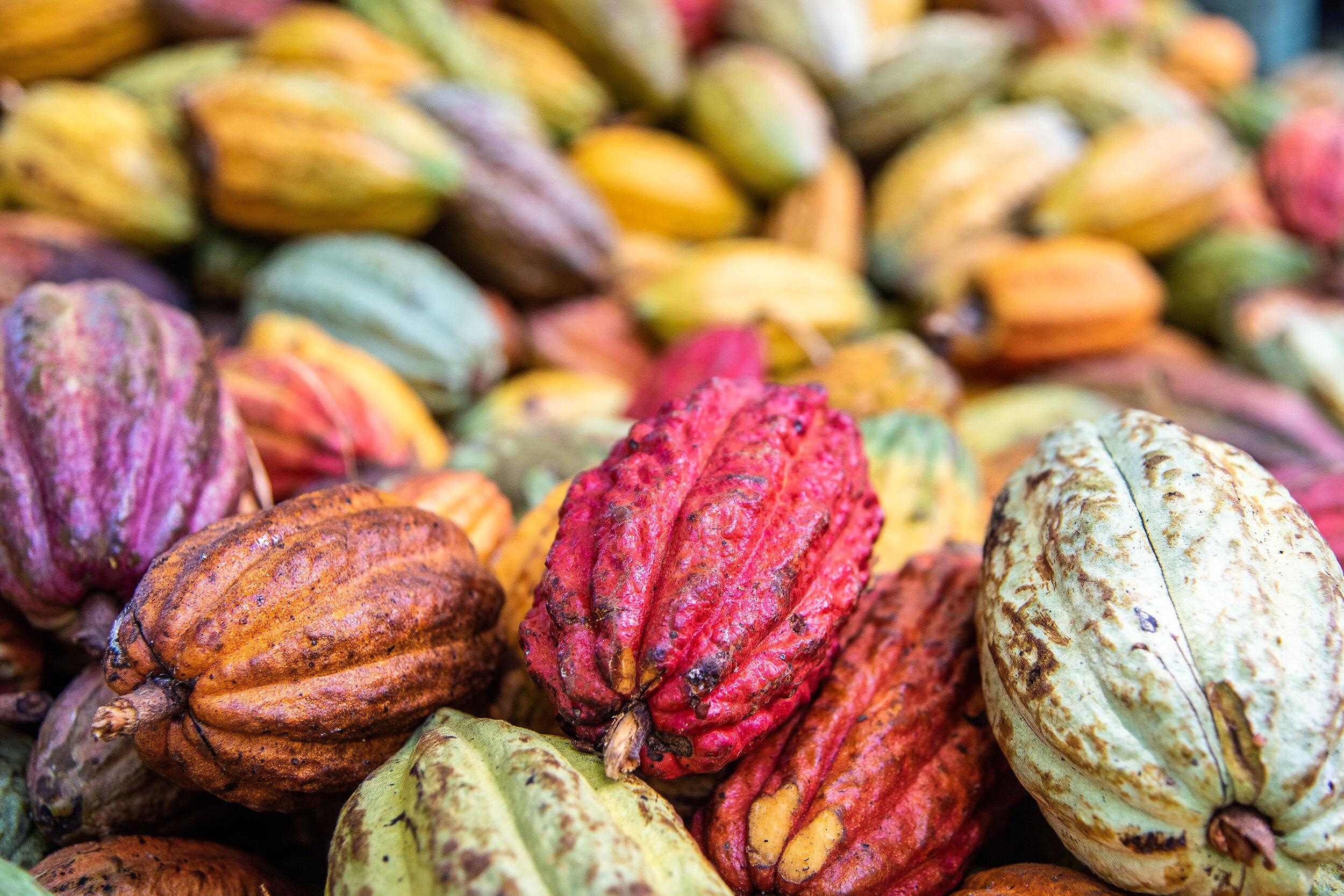 Cacao pods in Madagascar's Sambirano Valley